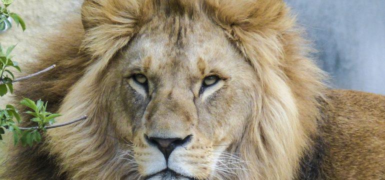 lion5602291920